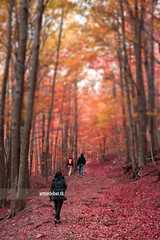 Hiking (arturii!) Tags: wood autumn red orange tree fall nature beauty forest wow walking amazing nice woods colorful europa europe superb hiking painted awesome great natura catalonia stunning otoo colored catalunya leafs arbre impressive gettyimages bosc tardor beechwood fageda montseny faig hayedo interetsing canonoes400d arturii arturdebattk