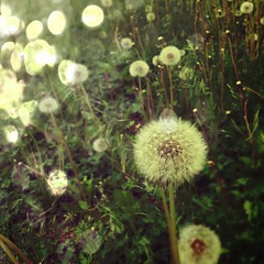 Focusing on wishes not the weeds (jspad) Tags: square spring gone android dandelions seed flickrandroidapp:filter=none