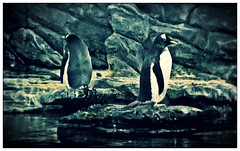 (tschmidt4) Tags: cold nature water animal animals rock tiere rocks wasser natur steine fels stein pinguin tier felsen pinguine pixlr