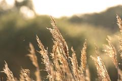 Sunlit Reeds (andy_n_1976) Tags: sunlight reed canon reeds 40d redgraveandlophamfen tamronsp70300lense