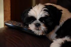 Typical Male (Goleudy) Tags: dog cute puppy shihtzu