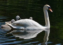 Safe (gideonc) Tags: uk family lake scotland swan motherandchild protected dormont sygnets