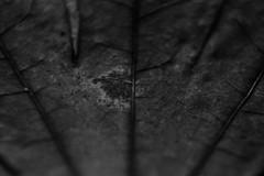 (Matt or Matt) Tags: winter white plant black detail macro tree monochrome up lines canon photography leaf close decay australia age deteriorate 1100d