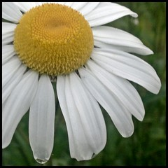 ox  eye daisy (mcginley2012) Tags: flower macro nokia droplets daisy raindrops n8
