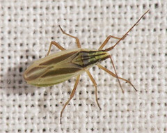 Miridae - Acetropis gimmerthalii - Meadow bug (Ashley _Wood) Tags: uk insects british warren sullington tq095144