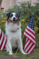 Whistling Dixie (Jasper's Human) Tags: patriot aussie australianshepherd 4thofjuly independenceday