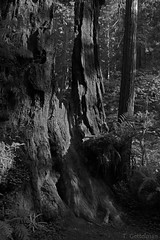 Black and White stump (Tatiana Gettelman) Tags: california ca trees white black tree rot nature rotting forest grey photo woods natural image gray creative picture commons pic photograph stump redwoods ferns