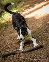 Let's play! (duncansalchemist) Tags: nikkor50mmf18 bordercolliepuppy