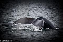 Whale watching in Grand Manan NB (dannyboy343) Tags: newbrunswick whale whales bayoffundy whalewatching grandmanan