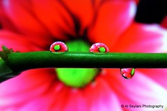 Refracting Waterdrops 1 (uvaisjm - Al Seylani Photography) Tags: flower macro water flora dewdrop refraction droplet waterdrops