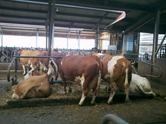 Franconian Dairy (J. Nisly) Tags: barn kuh cow cattle bauernhof fleckvieh simmental rinder dairycattle freestall freestallbarn