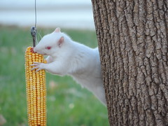 Albino Squirrel On The Corn Feeder (rabidscottsman) Tags: scotthendersonphotography squareformat corn food eat eating squirrel albinosquirrel minnesota animal white whitesquirrel redeyes nature nikon nikonp520 p520 coolpix squirrelfeeder earofcorn smile happy outdoors cute furry rare frombehindthetree grabbing holdingonto colors colorful smiling wildanimal pointandshoot yellowcorn driedcorn fall autumn beautiful fav10 vegetable wildlifeeating flickr10 wildlifewednesday socialmedia facebook cornonthecob