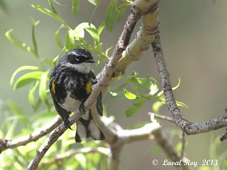 1.27801 Paruline à croupion jaune / Setophaga coronata coronata / Yellow-rumped Warbler