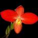 Phragmipedium besseae – Nico Goosens