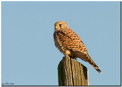 DSC_9561_GHEPPIO - Falco tinnunculus (ric.artur) Tags: nikon natura ali piemonte falco naturalmente volatili gheppio