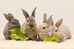 baby rabbits (threechairs) Tags: baby bunny eating lettuce basil rabbits