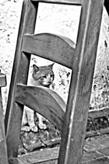 (Selin_S) Tags: city blackandwhite cute beautiful animal cat blackwhite cafe eyes chair kitty capture
