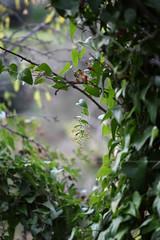 edera (Maria Dattola) Tags: italy copyright macro verde green nature canon eos italia bokeh  natura vert reggiocalabria bacche calabria 2014 edera 100mmlens 60d mariadattola
