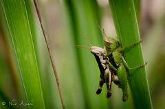 Grasshopper Mating (NurAzam) Tags: macro 35mm insect nikon bugs mating grasshopper raynox d5100 nikkor35mm18gdx