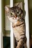 Hello!! (Fieldy.) Tags: cat kitten kitty miow meow chat neko gato mace katu kот mačka котка gat kočka kat kass kissa katze γάτα macska köttur gatto kaķis katė мачка qattus katt kot pisică кот кіт cath קאַץ կատու pişik বিড়াল 猫 貓 კატა બિલાડી बिल्ली miv ネコ ಬೆಕ್ಕು мысық ឆ្មា 고양이 പൂച്ച मांजर муур ကြောင် බළලා гурба பூனை పిల్లి แมว بلی mushuk conmèo fieldym fieldy matthewfield matthewfieldphotography