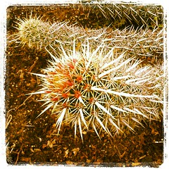 Stenocereus eruca CREEPING DEVIL, Desert Garden, Huntington Botanical Gardens (cactfyl) Tags: cactus nature cacti garden succulent flora desert huntington filters succulents spiny desertgarden earlybird stenocereus creepingdevil instagram