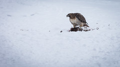 I'm a chickenhawk! (SauceyJack) Tags: winter red food snow cold bird blood eating hawk feathers feather eat raptor ave gore snowing tailed birdofprey guts chickenhawk buteos redtailedhawk 2014 lr5 lightroom5 canon1dx 7020028isiil sauceyjack