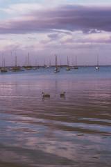 IMG_8336 (teganedwardsphoto) Tags: blue sky beach water dark bay boat swan waterfront purple swans eastern geelong coriobay
