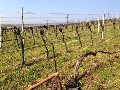 Poysdorf Vineyard Spring 2014 - 1