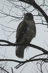 Red-Tailed Hawk on a Snowy Day at the University of Michigan, Ann Arbor (March 12, 2014) (cseeman) Tags: winter snow birds hawk michigan annarbor birdsofprey universityofmichigan redtailedhawk lawlibrary universityofmichiganlawlibrary michiganlawlibrary umhawk03122014 marchumsquirrel