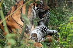 ZSL London Zoo: Melati & Her 2 month old cubs (Sumatran Tigers) (Jasmine'sCamera) Tags: baby beautiful zoo cub babies stripes tiger mother mum bigcat tummy endangered sumatrantiger bigcats sumatran 2months londonzoo melati zsl pro