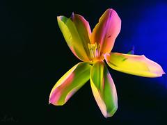 Tulip 243 (peterpe1) Tags: yellow photoshop flickr gelb tulip blume tulpe peterpe1