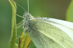 Small White Macro (riggy-riggo) Tags: macro nature canon woodland butterfly insect kent spring wildlife 90mm smallwhite whitebutterfly deborahrigden riggyriggo