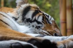 IMG_2480 (delon_anno) Tags: animals gardens canon tampa rebel tiger busch t5i