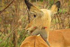buphagus erythrorhynchus (tdwrsa) Tags: impala pilanesberg buphaguserythrorhynchus