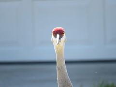 Birds eye view (cptiii) Tags: bird birds crane eyeview birdface