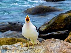 Otra loca gaviota ms (weareallawreck) Tags: chile bird animals ave