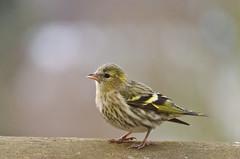 siskin - Elrenzeisig (cb.photography) Tags: winter wild bird germany dof hessen bokeh wildlife vogel siskin ldk erlenzeisig lahndillkreis lahndill