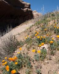 023 A Pocket Of Poppies (saschmitz_earthlink_net) Tags: california cliff rocks orienteering californiapoppy rockformation eschscholziacalifornica aguadulce vasquezrocks losangelescounty 2015 laoc losangelesorienteeringclub