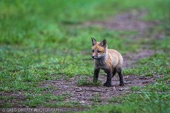 Fox kit (greg obierek) Tags: nature canon wildlife fox redfox vulpesvulpes bombayhook foxkit bombayhooknwr usnwr uswrs
