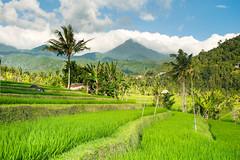 Bali la belle...Bali the beautiful...Look at my album on Bali (geolis06) Tags: bali landscape asia asie paysage indonsia 2015 indonsie munduk baliricefield balilandscape olympusomdem5 olympusm1240mmf28 geolis06 riceoffieldbali paysagebali rizierebali balinesepeasant mundukricefields riziresmunduk
