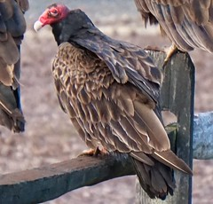 Turkey Vulture (bizzyb0ne247) Tags: bird nature turkey wildlife vulture