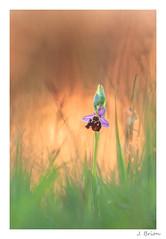 blouissante sorcellerie (jeremie.brion) Tags: macro nature fleur soleil coucherdesoleil proxy