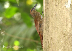 Northern Barred Woodcreeper (Dendrocolaptes sanctithomae) (Gualberto Becerra/CraterValley Photo) Tags: brown tree green bird nature leaves animal forest woods rainforest natural wildlife feathers trunk panama woodcreeper barred plumage dendrocolaptessanctithomae northernbarredwoodcreeper