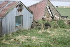 Sheep in ruins (rgnr Albertsson) Tags: old horses bird animals iceland ruins sheep rustic rusty derelict garabr urbex