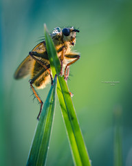 On a recce mission (Ingeborg Ruyken) Tags: morning macro green grass insect fly spring waterdrop flickr groen gras lente dropbox ochtend vlieg 2016 grashalm empel waterdruppel strontvlieg natuurfotografie yellowdungfly 500pxs