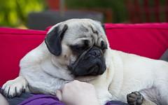 Lazy Day (Deep-Fried Goodness) Tags: dog cute pug dexter