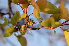 Little apricots (mikros.anthropos) Tags: wild berlin nature fruit spring natur apricot frucht apricottree aprikose prunusarmeniaca aprikosenbaum nikond3300