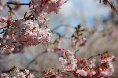 Blossoms in Bright's Grove (Rokudan) Tags: pink blue sky white ontario tree branch dof blossoms sarnia bloom floraandfauna brightsgrove flowerpictures anythingnature