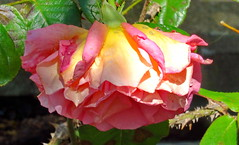 A rose for you (peggyhr) Tags: pink friends canada green rose vancouver bc waterdroplets thorny thegalaxy peggyhr heartawards simplysuperb level1photographyforrecreation thegalaxyhalloffame musictomyeyes~ thelooklevel1red thelooklevel2yellow thelooklevel3orange super~sixstage2silver niceasitgets~level1 redlevelno1 arborsquare~anaturegroup~ frameit~level01~ rainbowofnaturelevel1red l~1passionforflowers infinitexposurel1 level1peaceawards super~sixbronzestage1 cocoonofdreamslevel1 dsc05332a cocoonofdreamslevel2