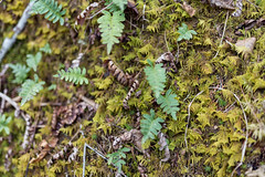 Moss and Ferns (ZensLens) Tags: camping lake fog landscape scenic superior coastal amethyst lakesuperior rugged ontarioparks